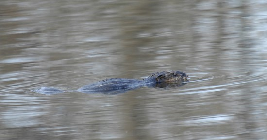 The beaver, an ecological architect and disturber. Julie Larsen Maher ©WCS